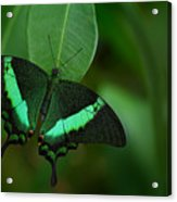 Green Swallowtail Butterfly, Papilio Acrylic Print