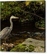 Grey Heron Fishing Acrylic Print