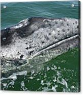 Grey Whale Head Acrylic Print