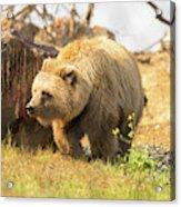 Grizzly Bear Acrylic Print