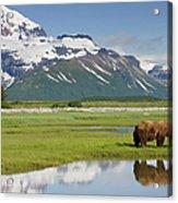 Grizzly Bear, Katmai National Park Acrylic Print