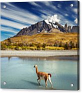 Guanaco Crossing The River In Torres Acrylic Print