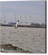 Gull In Flight On New Jersey Bay Acrylic Print
