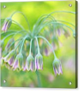 Sicilian Honey Lily Acrylic Print