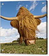 Hairy, Horned, Highland Cow Grazing Acrylic Print