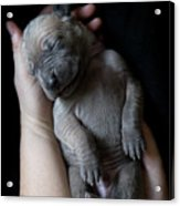 Hands Holding A Sleeping Puppy Acrylic Print