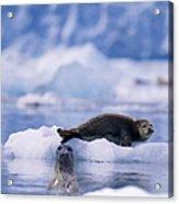 Harbor Seal Phoca Vitulina In Glacial Acrylic Print