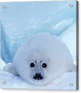 Harp Seal Phoca Groenlandica Acrylic Print