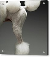 Haunches Of Poodle, On Grey Background Acrylic Print