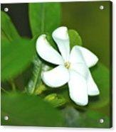 Hawaiian Gardenia Acrylic Print