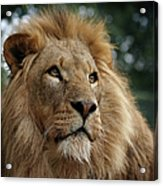 Head Shot Of Male African Lion Acrylic Print