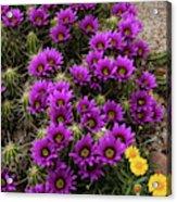 Hedgehog Cactus And Yellow Daisies Acrylic Print