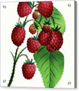 Hepstine Raspberries Hanging From A Branch Acrylic Print