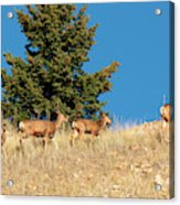 Herd Of Colorado Deer Acrylic Print