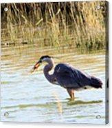 Heron Capturing A Fish Acrylic Print