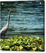 Heron In The Lily Pads Acrylic Print