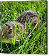 Hiding In The Grass Acrylic Print