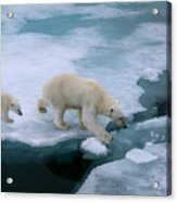 High Angle Of Mother Polar Bear And Cub Acrylic Print