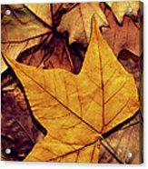 High Resolution Dry Maple Leaf On Acrylic Print