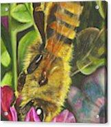Honey Bee On Mexican Heather Acrylic Print