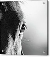 Horse In Black And White Acrylic Print