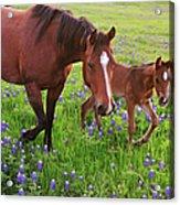 Horse On Bluebonnet Trail Acrylic Print
