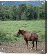 Horse Print 900 Acrylic Print