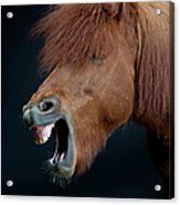 Horse Showing Teeth, Laughing Acrylic Print