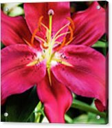 Hot Pink Day Lily Acrylic Print