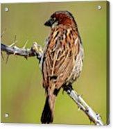 House Sparrow V1818 Acrylic Print