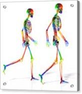 Human Skeleton Pair Acrylic Print