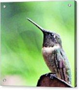 Hummingbird 90 Acrylic Print