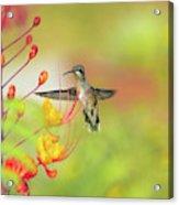 Hummingbird And Pride Of Barbados  Acrylic Print