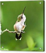 Hummingbird Flexibility Acrylic Print