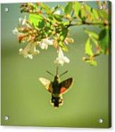 Hummingbird Hawk-moth Acrylic Print
