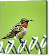 Hummingbird On A Fence Acrylic Print
