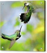 Hummingbirds Ensuing Battle Acrylic Print