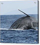 Humpback Whale Breach 2 Of 3 Acrylic Print