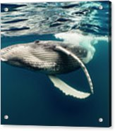 Humpback Whale Calf Near Surface Acrylic Print