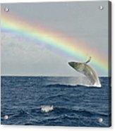 Humpback Whale Rainbow Breach Acrylic Print
