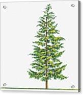 Illustration Of Large Evergreen Tsuga Acrylic Print