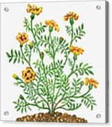 Illustration Of Tagetes Patula French Acrylic Print