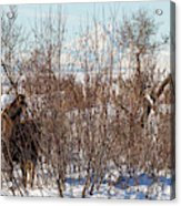 In Ninilchik A Moose Grazes In The Village In Late Winter Acrylic Print