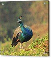 Indian Peafowl Acrylic Print