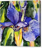 Iris In Bloom Acrylic Print