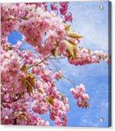 Japanese Cherry Acrylic Print