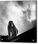 Japanese Macaque On Roof Acrylic Print