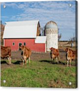 Jersey Steer Is A Curious Beast Acrylic Print