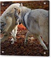 Joyful Wolves Acrylic Print