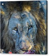 Jungle King With Kill With Killer Looks Acrylic Print